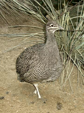 Elegant Crested Tinamou wallpaper