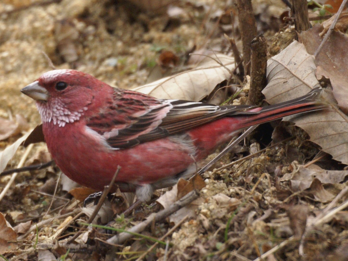 Pallas' Rosefinch wallpaper