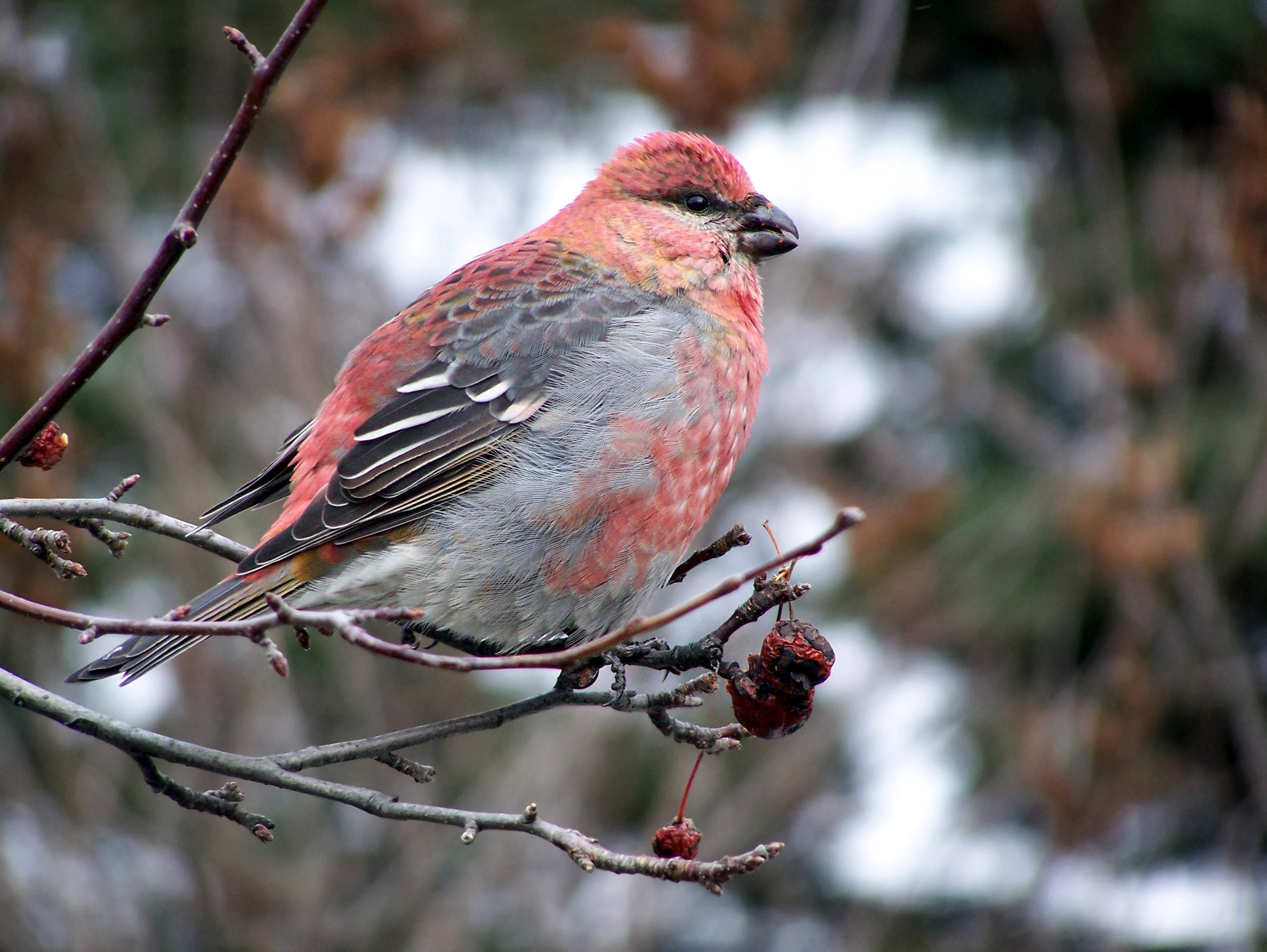 Pine Grosbeak wallpaper