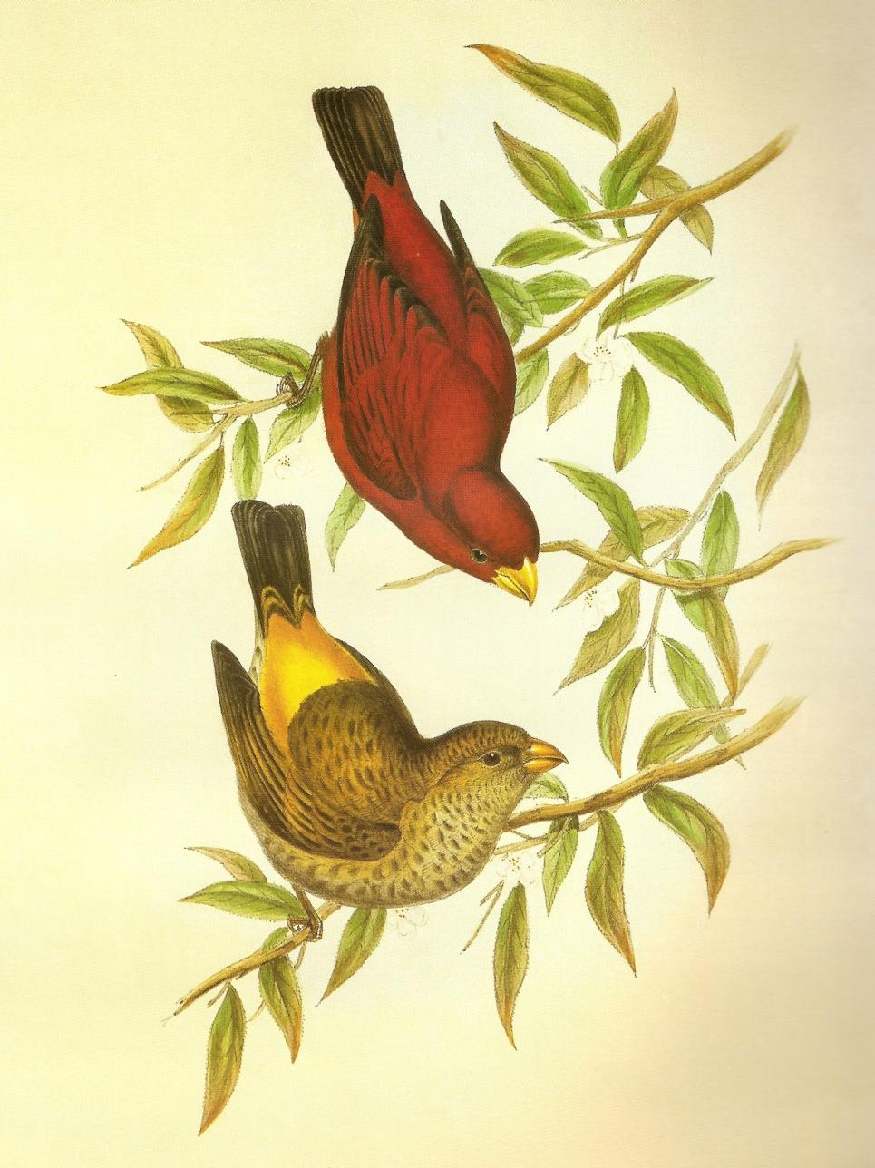 Scarlet Finch wallpaper