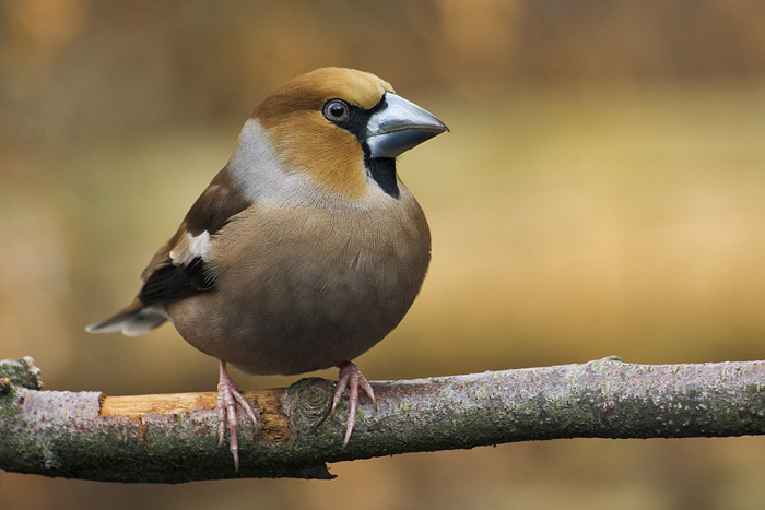 Hawfinch wallpaper