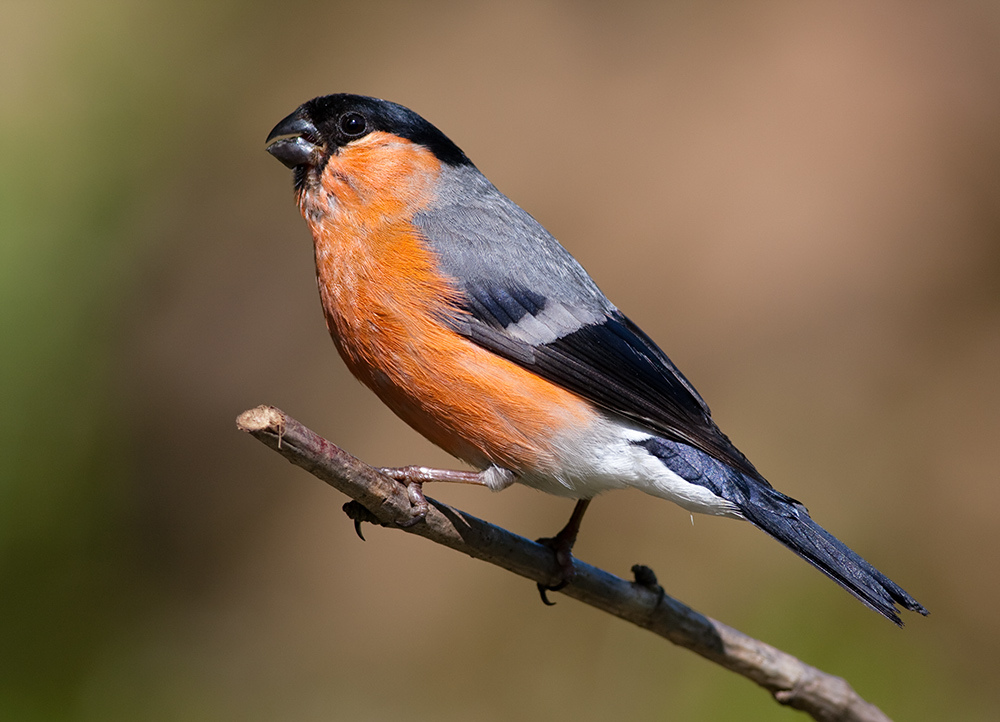 Eurasian Bullfinch wallpaper