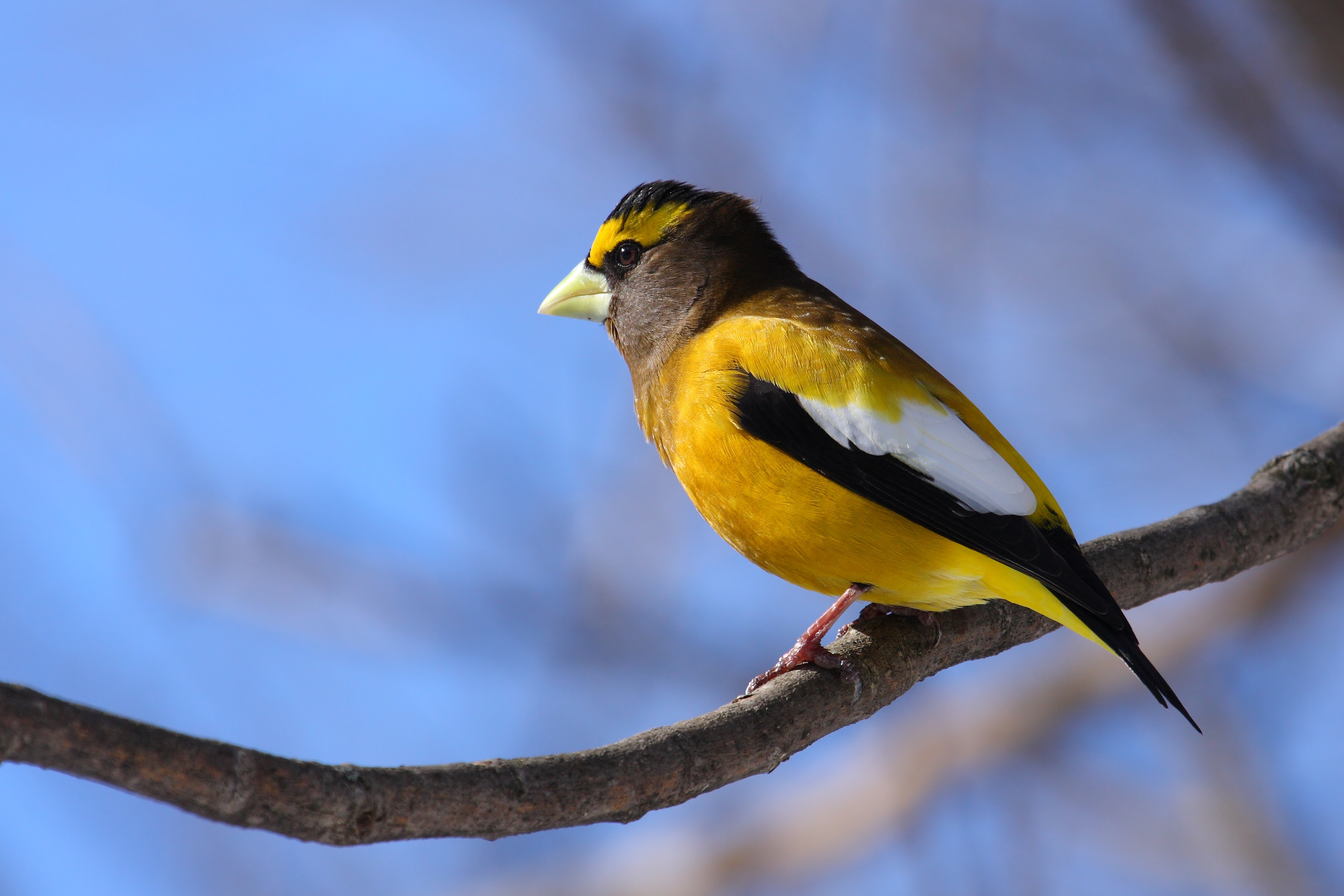 Evening Grosbeak wallpaper