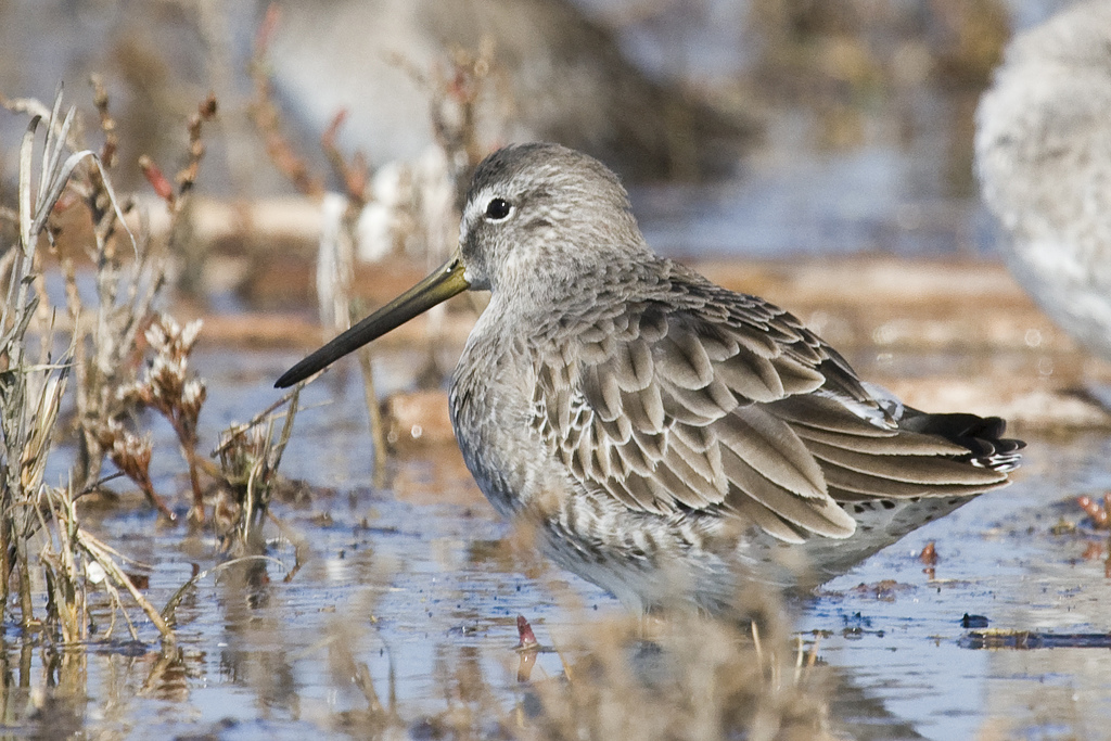 Short-billed Dowitcher wallpaper