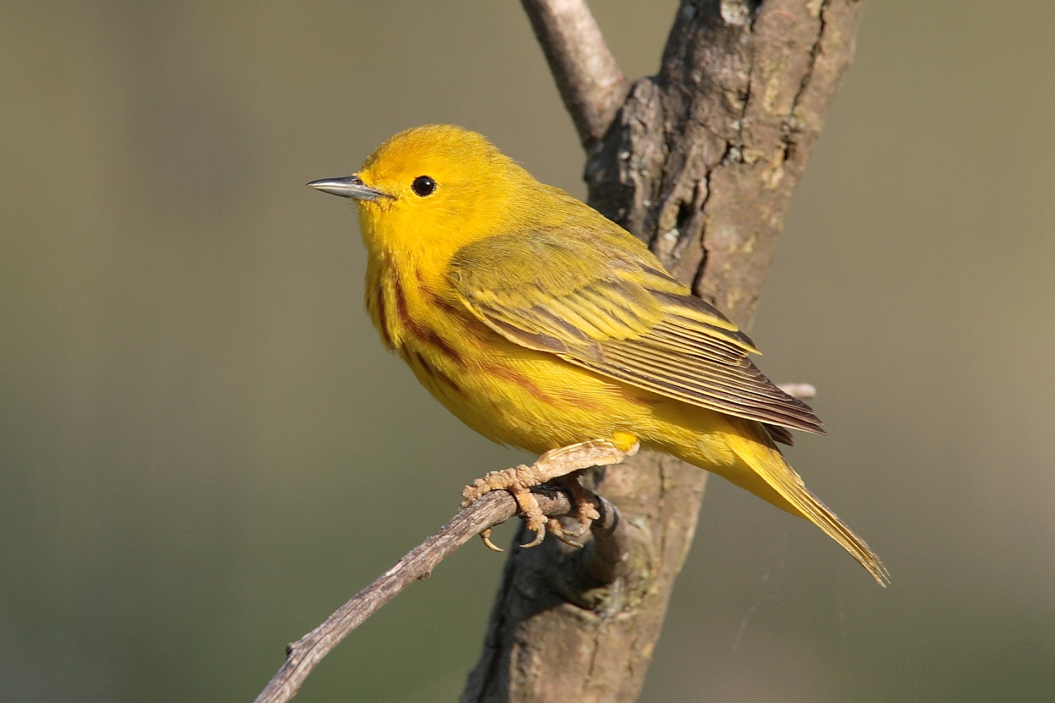 Yellow Warbler wallpaper