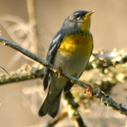 Northern Parula wallpaper