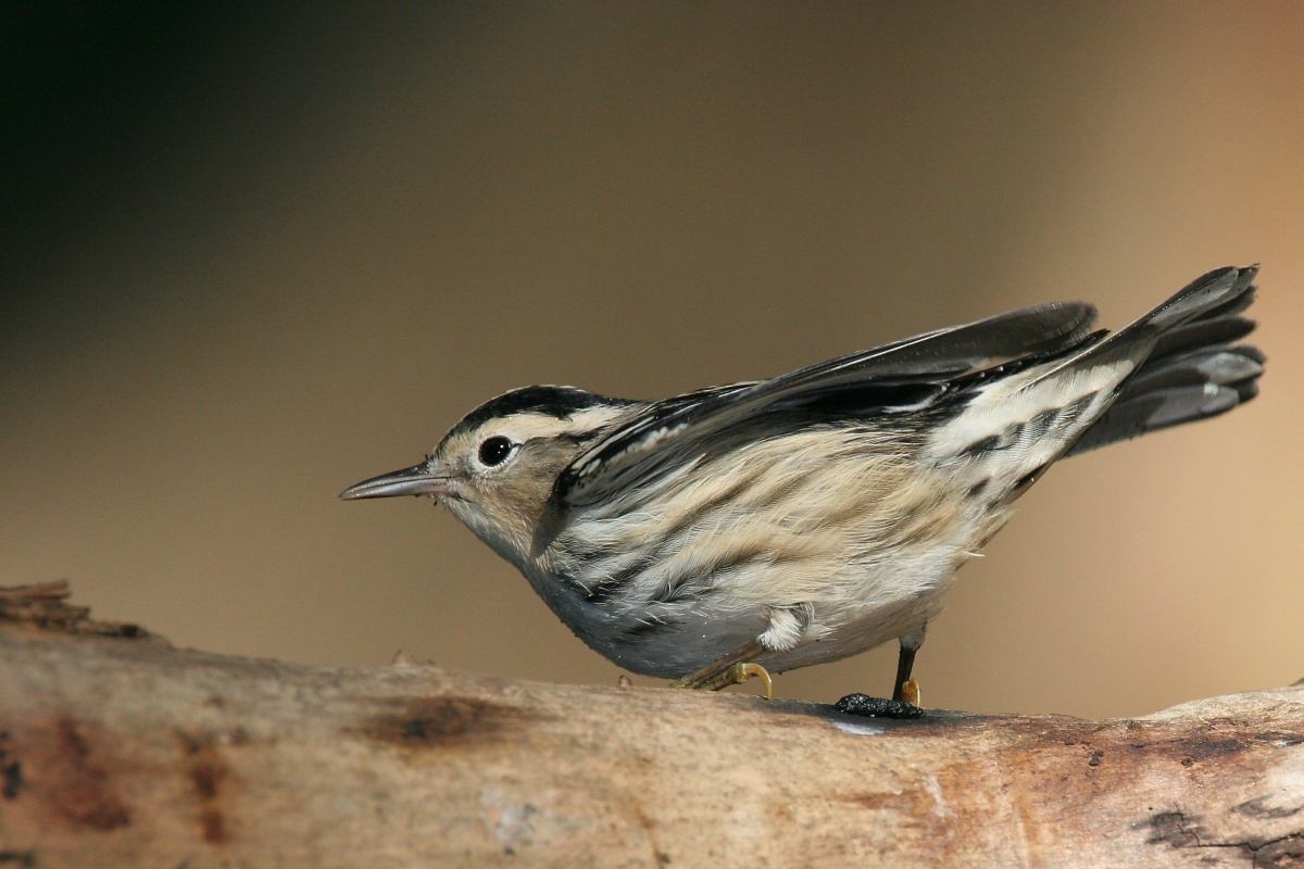 Black-and-white Warbler wallpaper