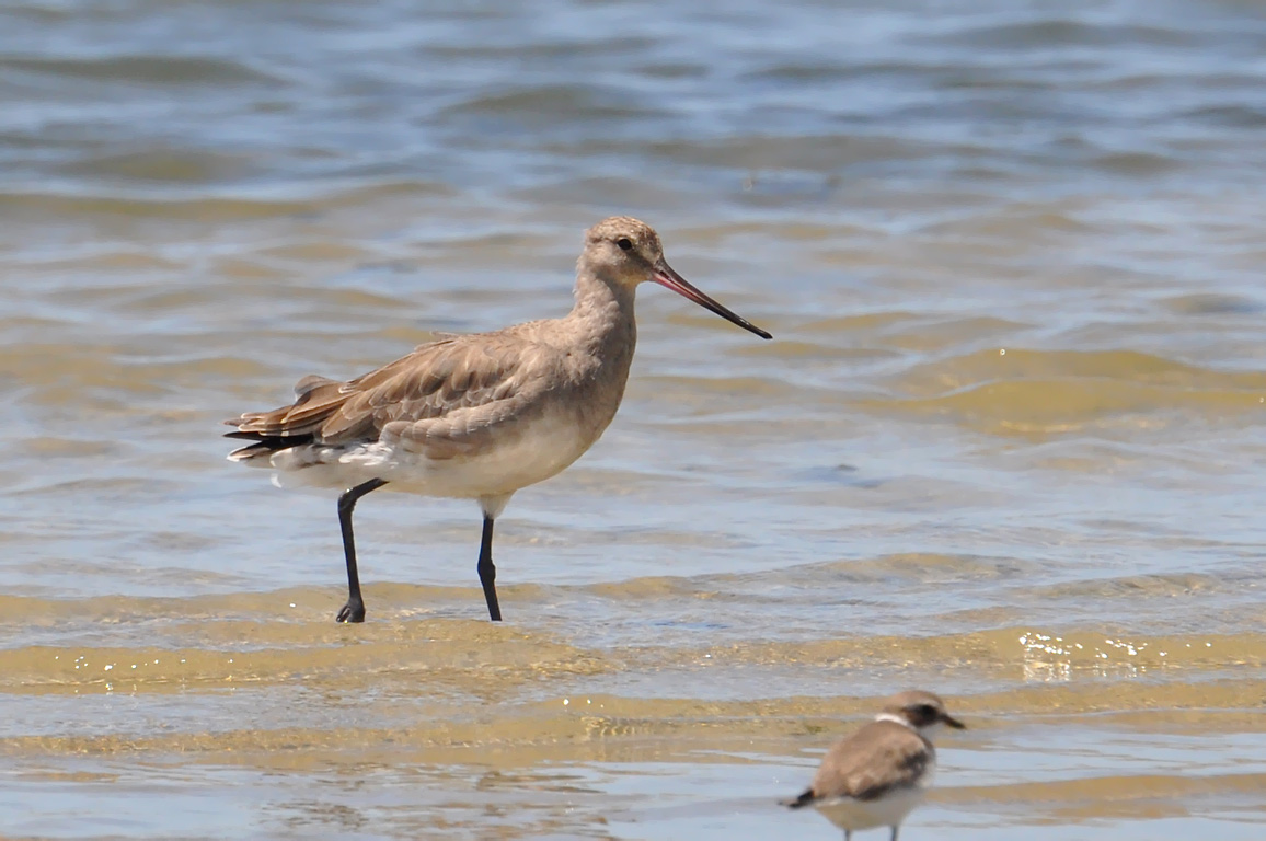 Hudsonian Godwit wallpaper