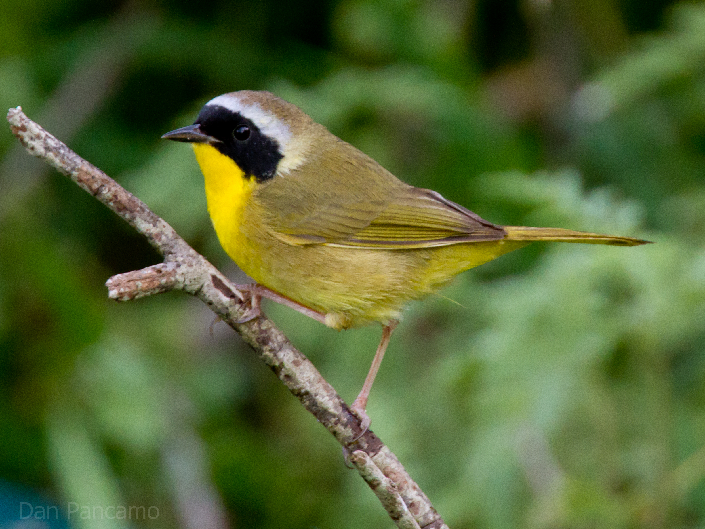 Common Yellowthroat wallpaper