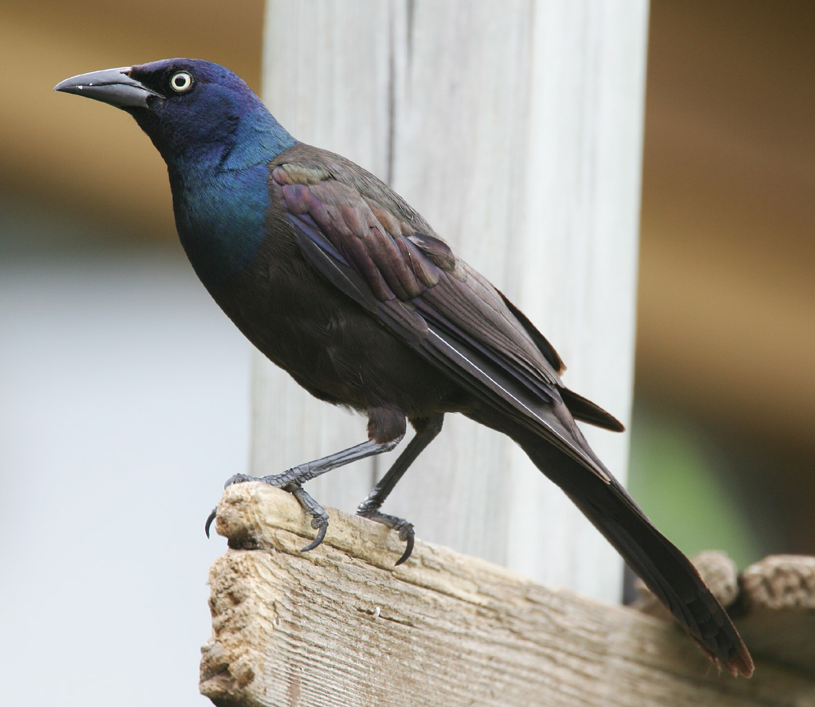 Common Grackle wallpaper