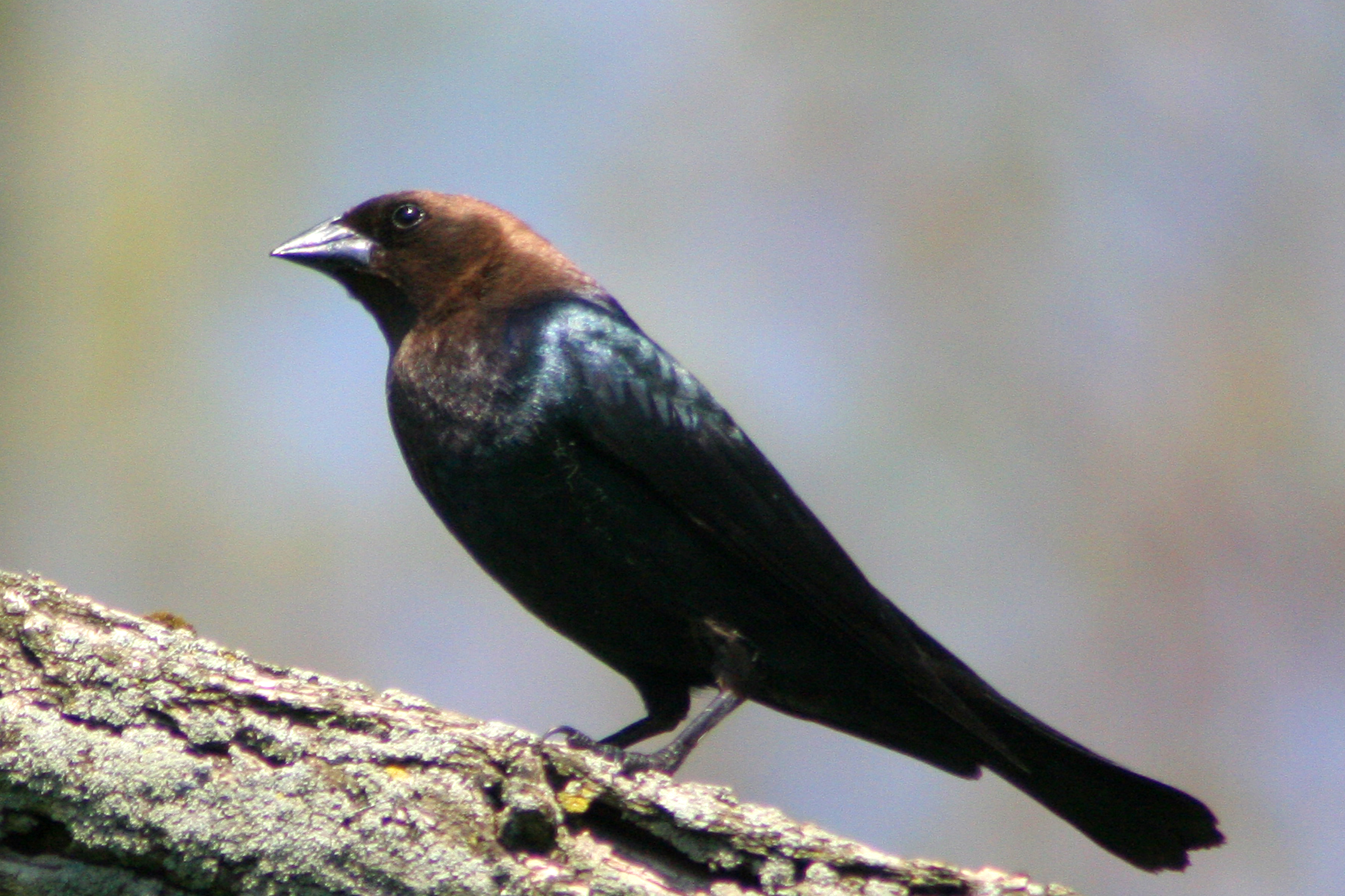Brown-headed Cowbird wallpaper