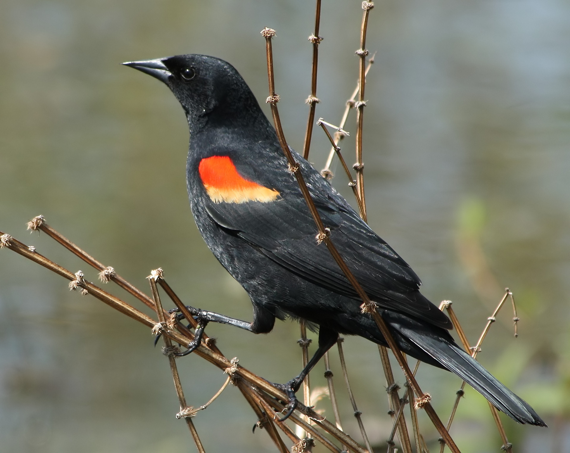 Red-winged Blackbird wallpaper