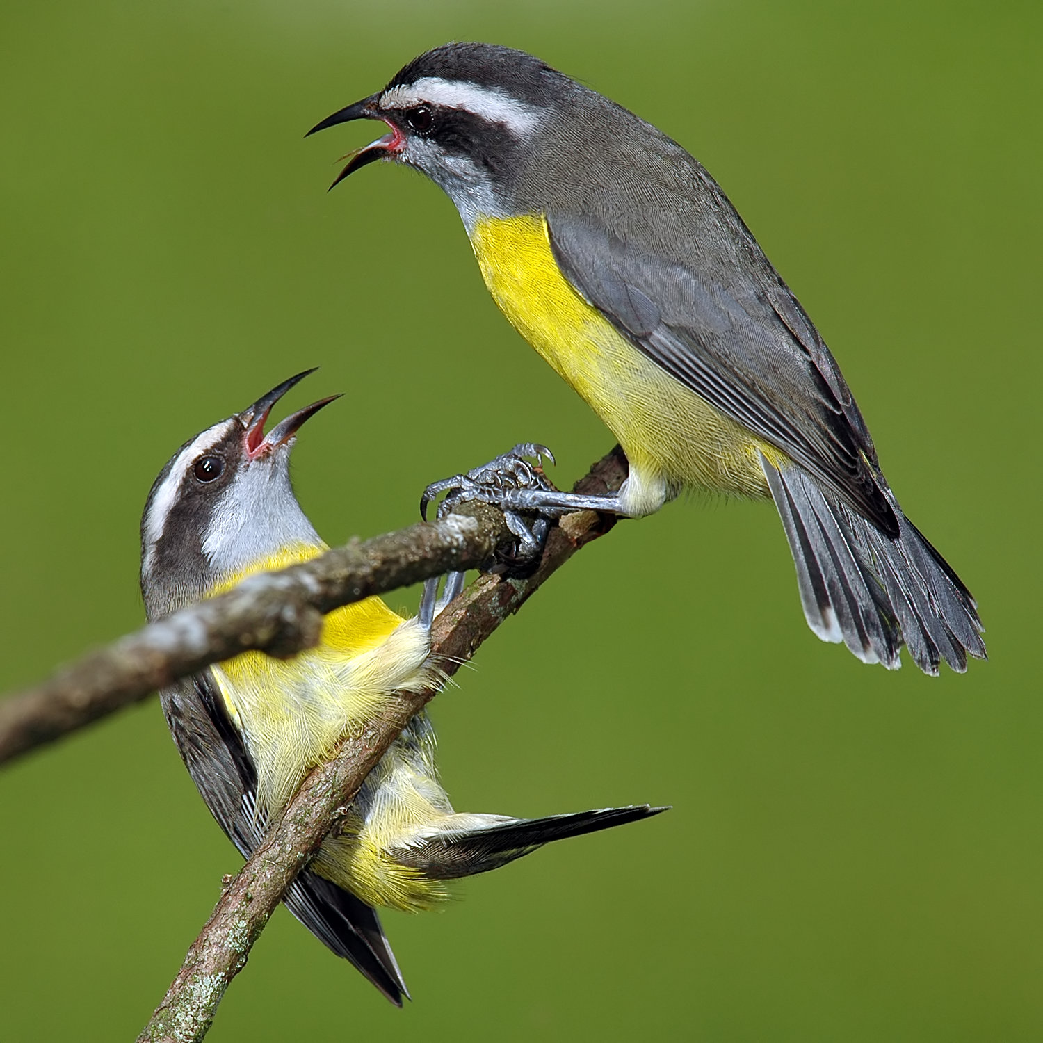 Bananaquit wallpaper
