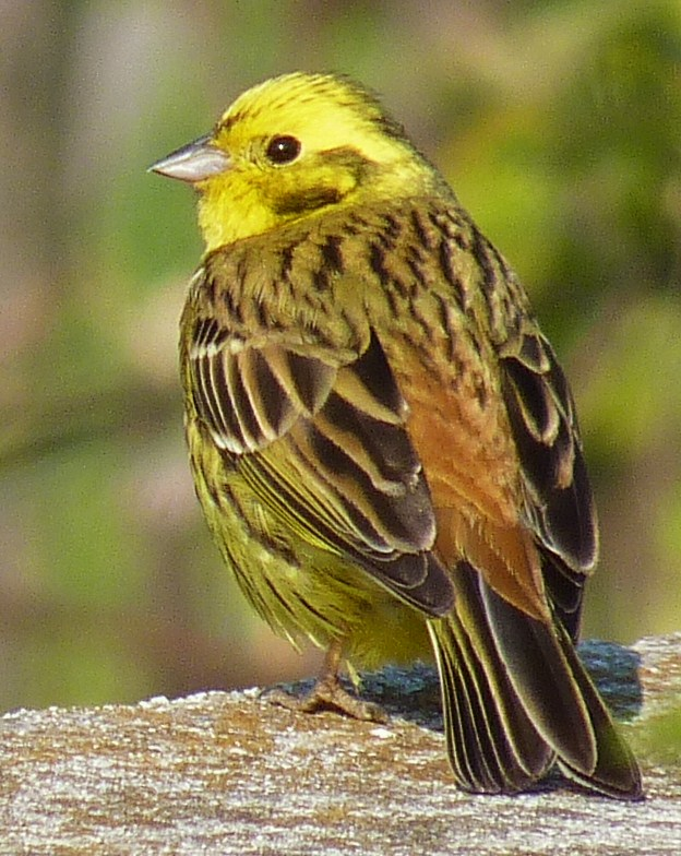 Yellowhammer wallpaper
