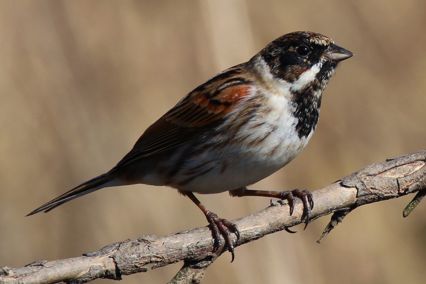 Reed Bunting wallpaper