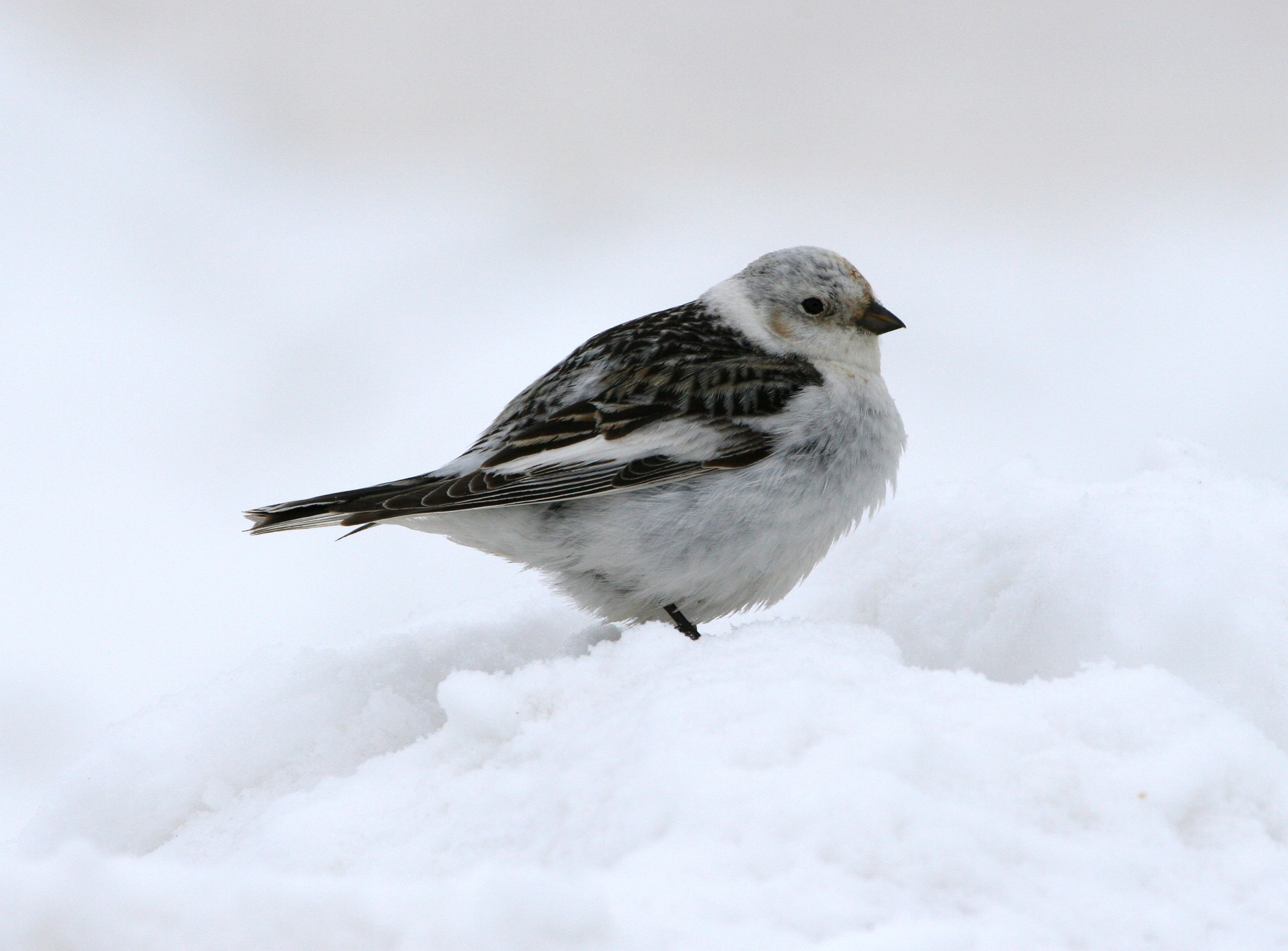 Snow Bunting wallpaper