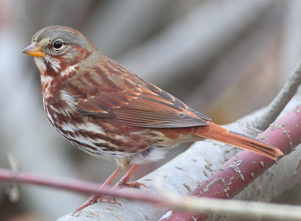 Fox Sparrow wallpaper