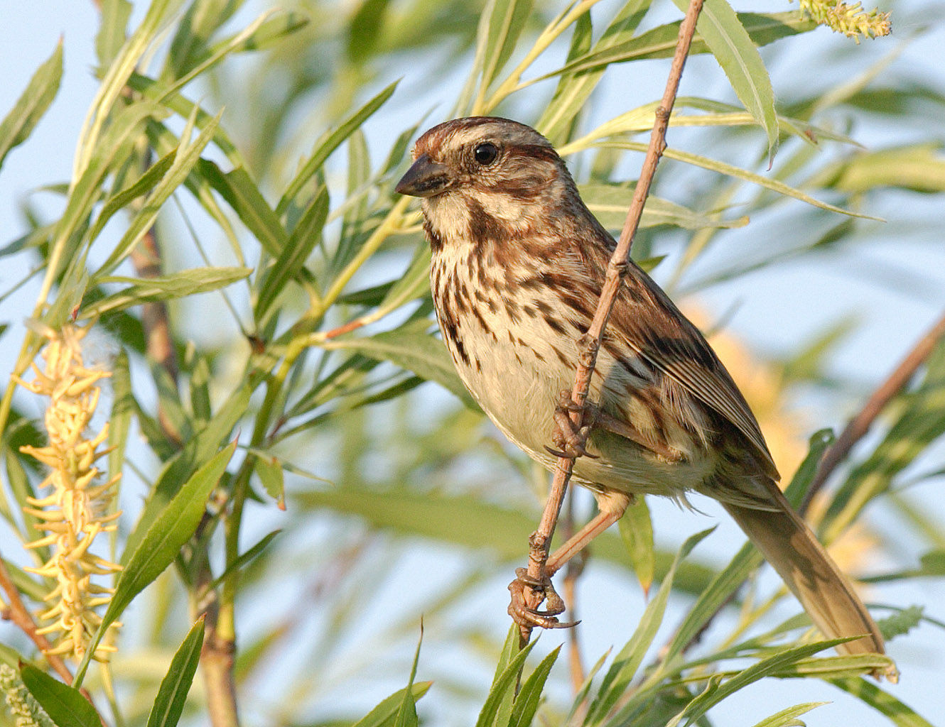 Song Sparrow wallpaper