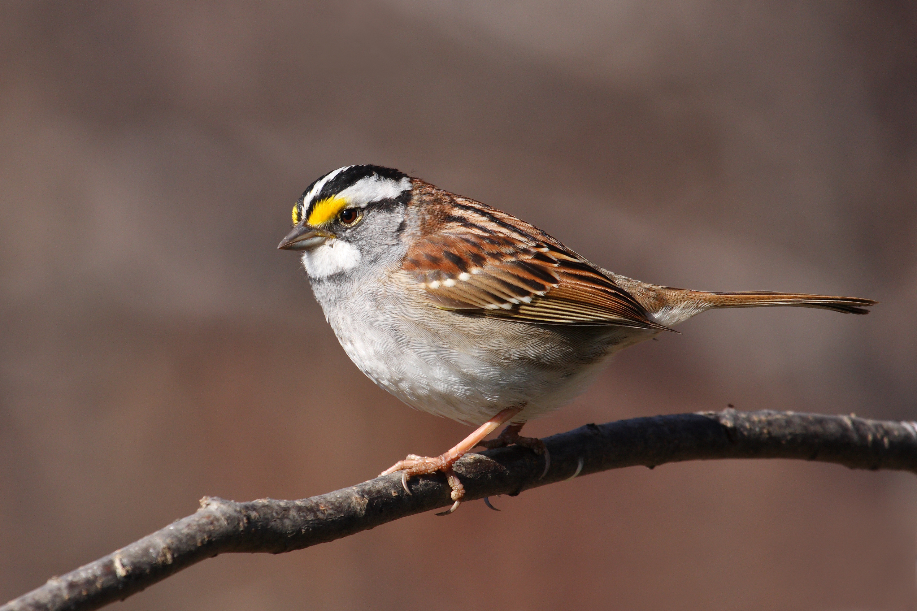 White-throated Sparrow wallpaper