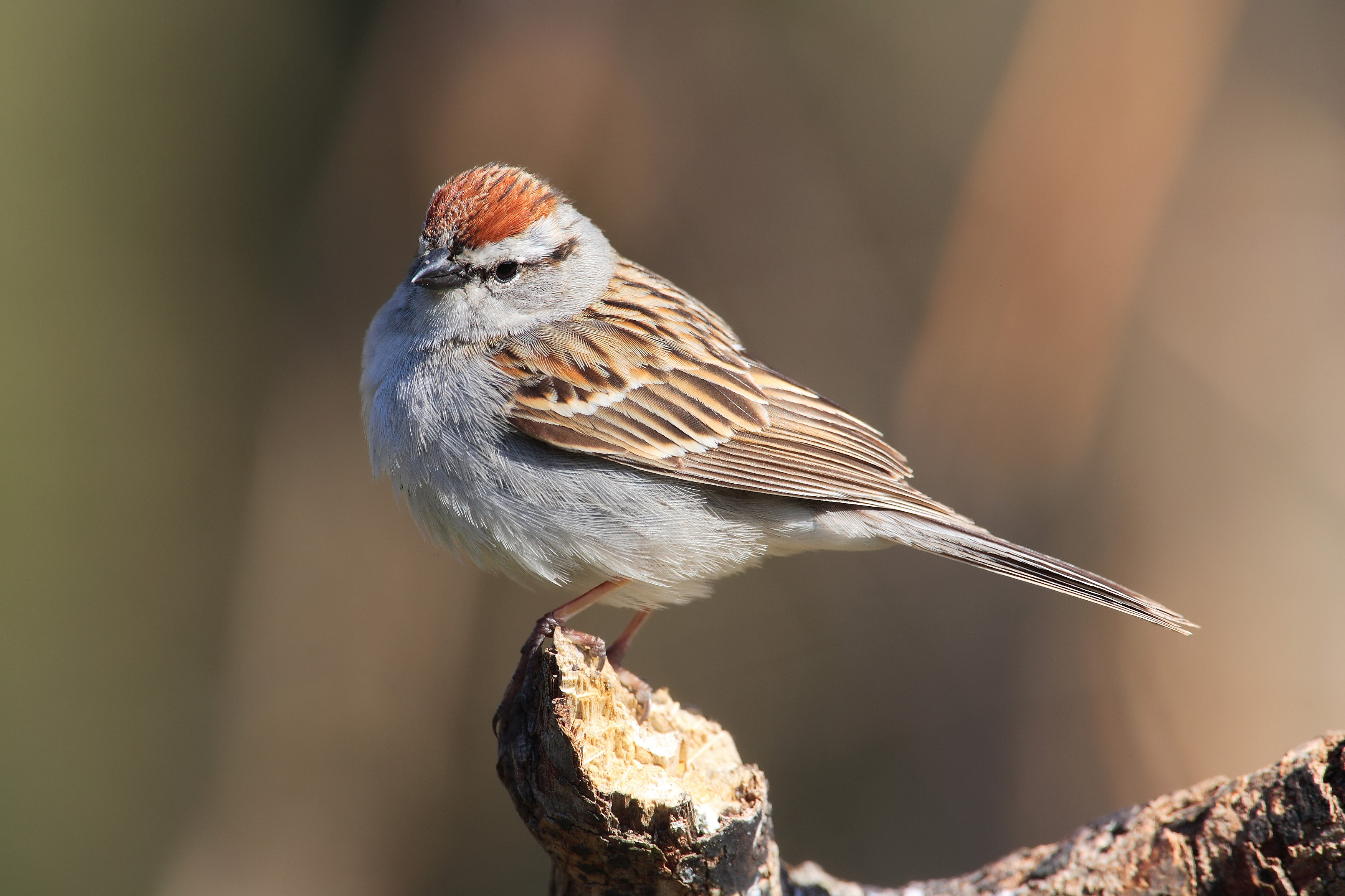 Chipping Sparrow wallpaper