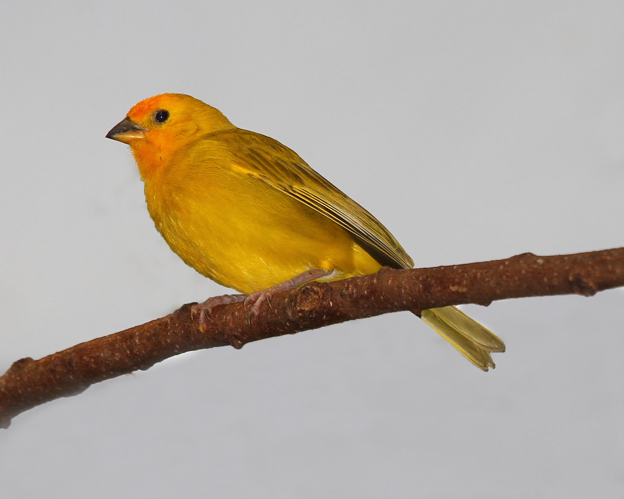 Saffron Finch wallpaper