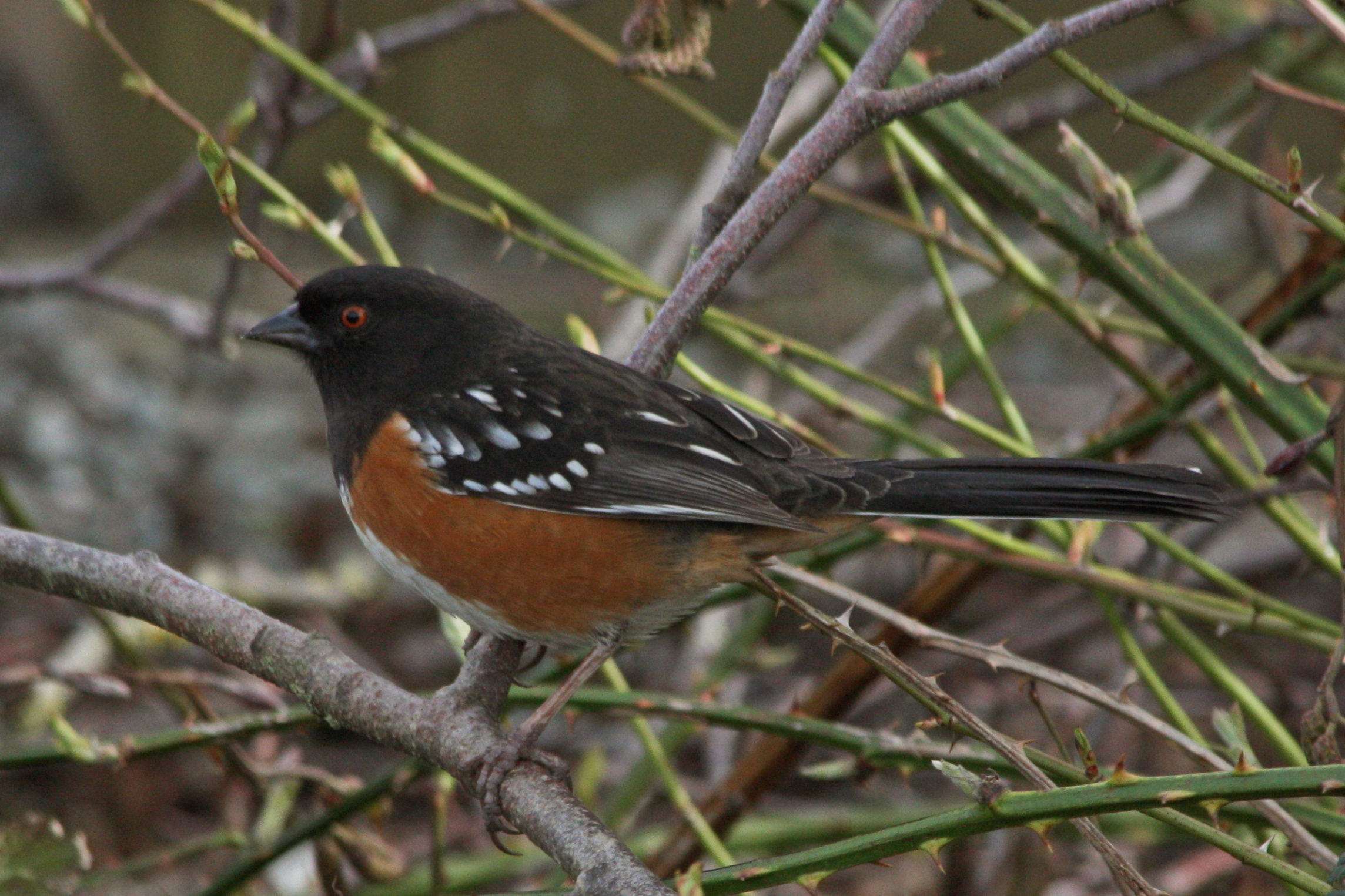 Spotted Towhee wallpaper