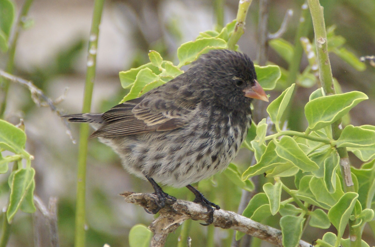Small Ground-finch wallpaper