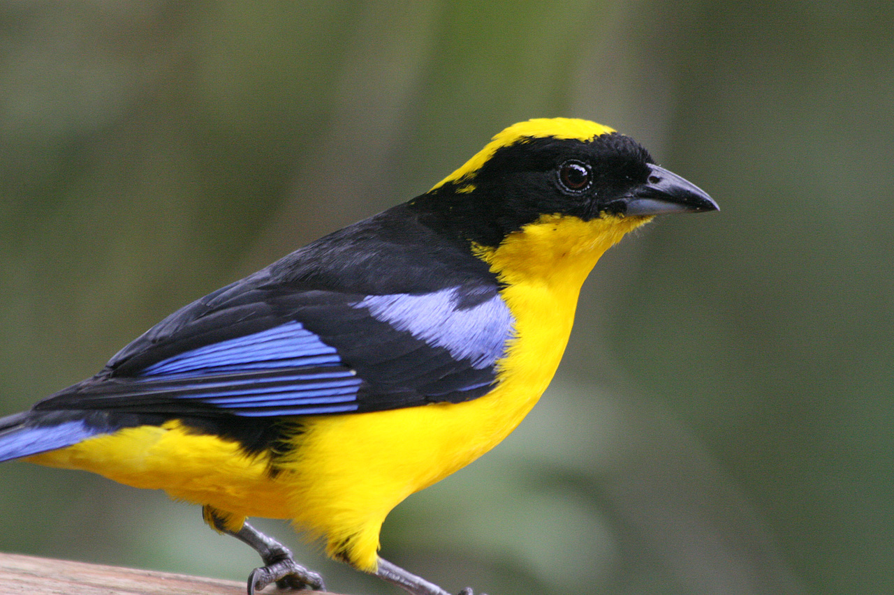 Blue-winged Mountain-tanager wallpaper