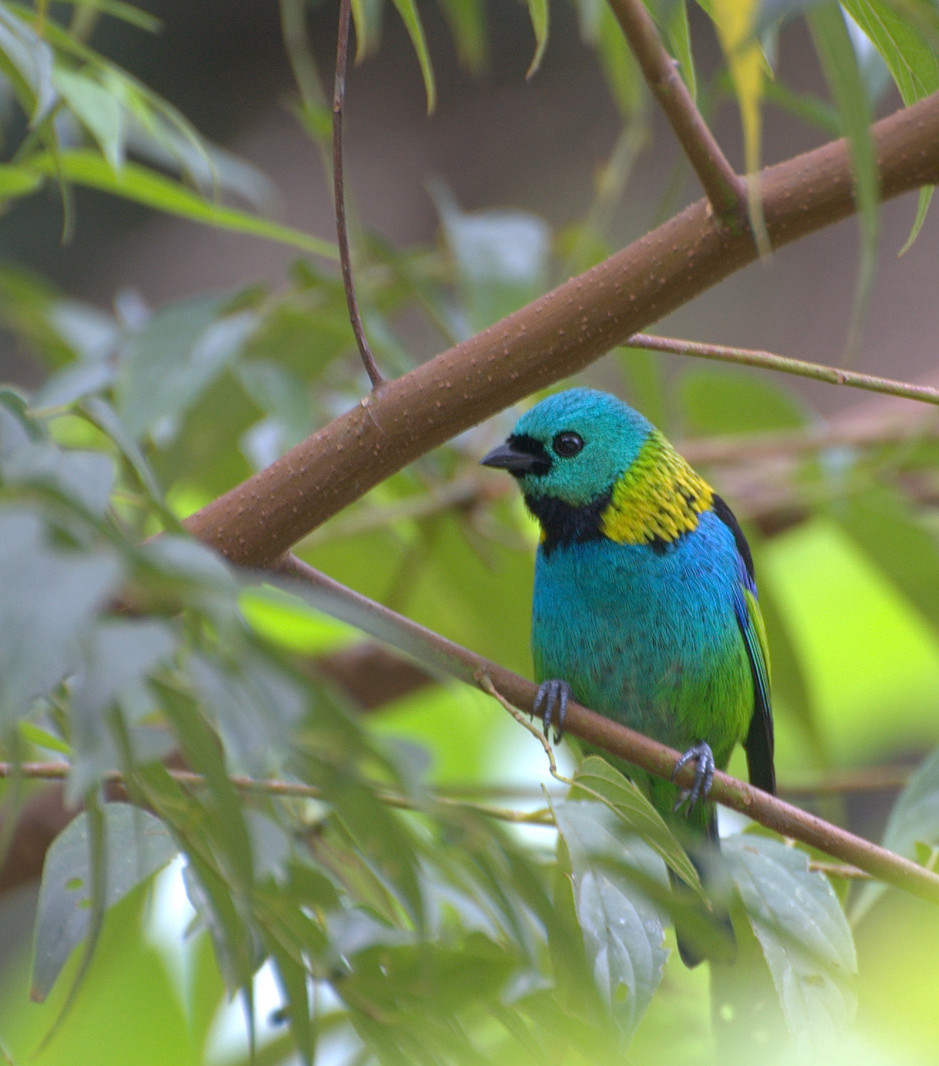 Green-headed Tanager wallpaper