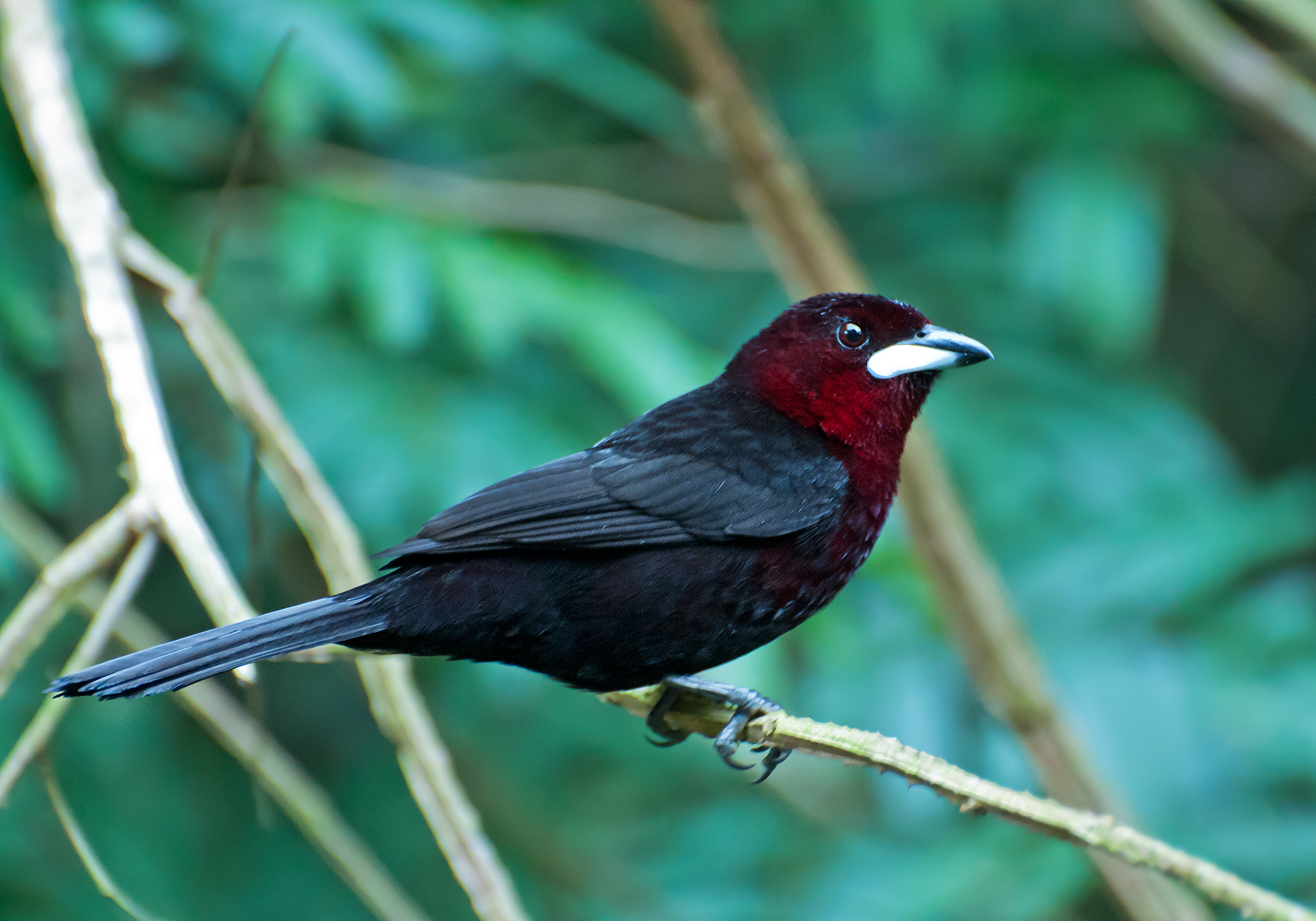 Silver-beaked Tanager wallpaper