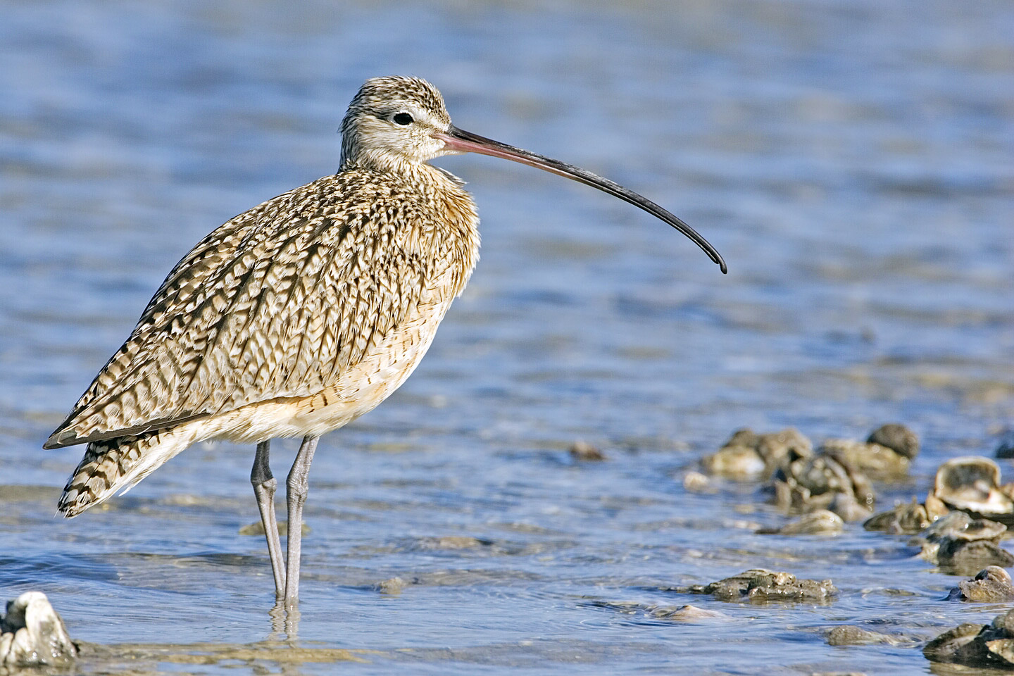 Long-billed Curlew wallpaper