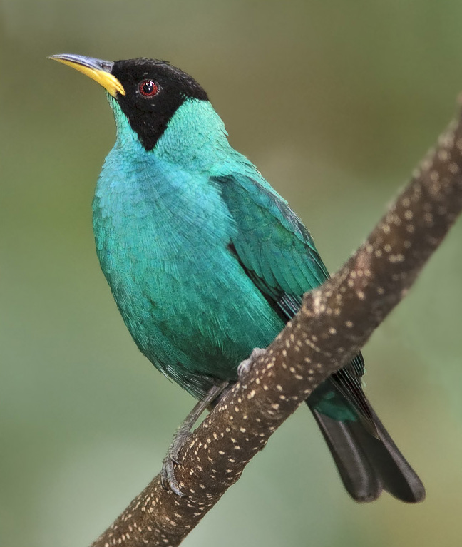 Green Honeycreeper wallpaper