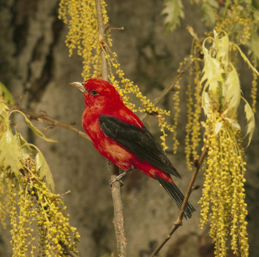 Scarlet Tanager wallpaper