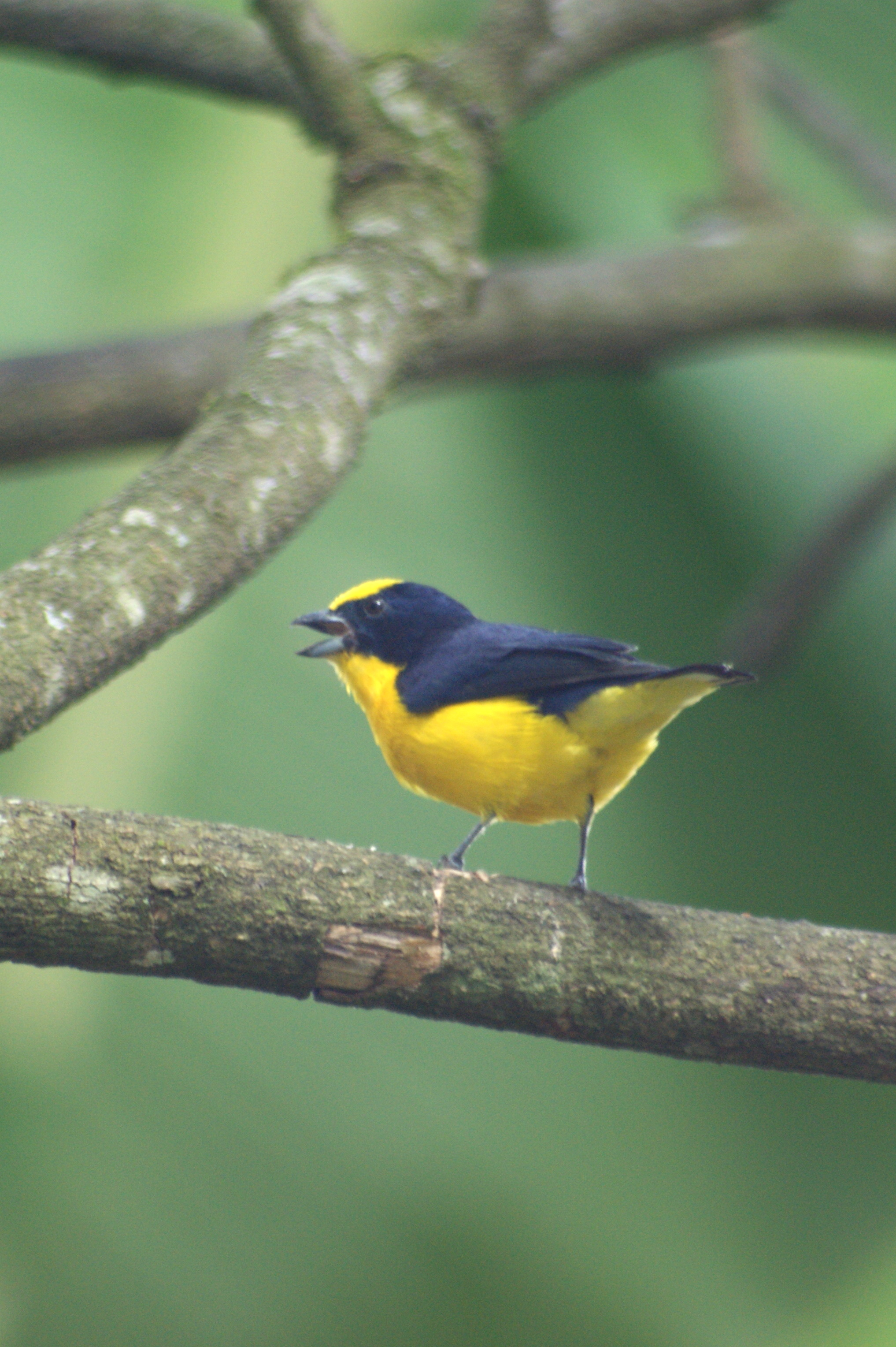 Thick-billed Euphonia wallpaper