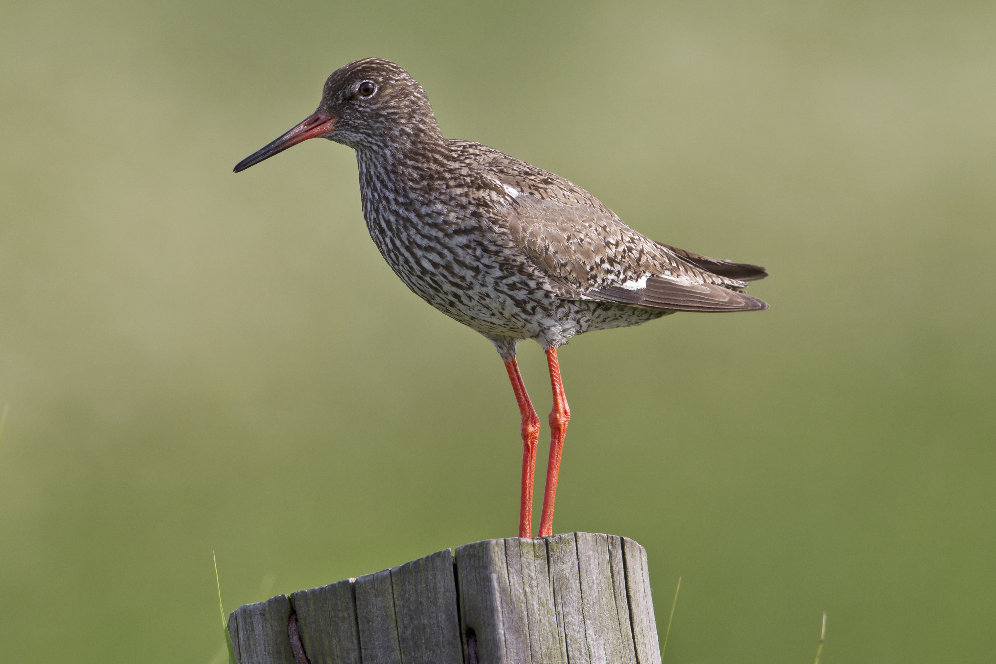 Common Redshank wallpaper
