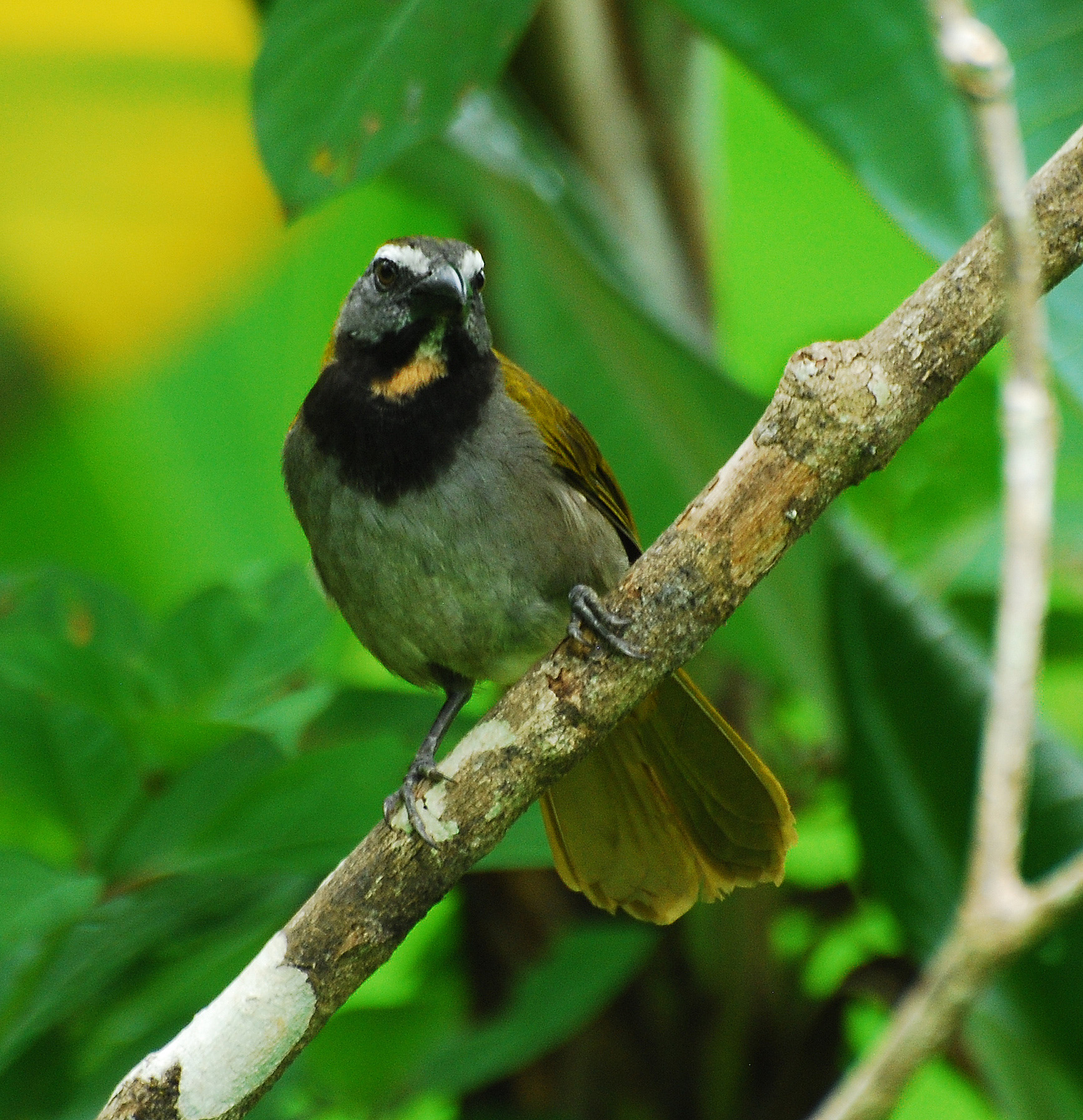 Buff-throated Saltator wallpaper