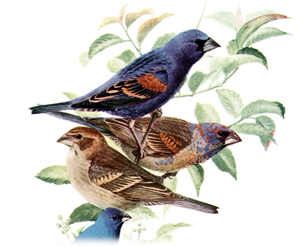 Blue grosbeak wallpaper