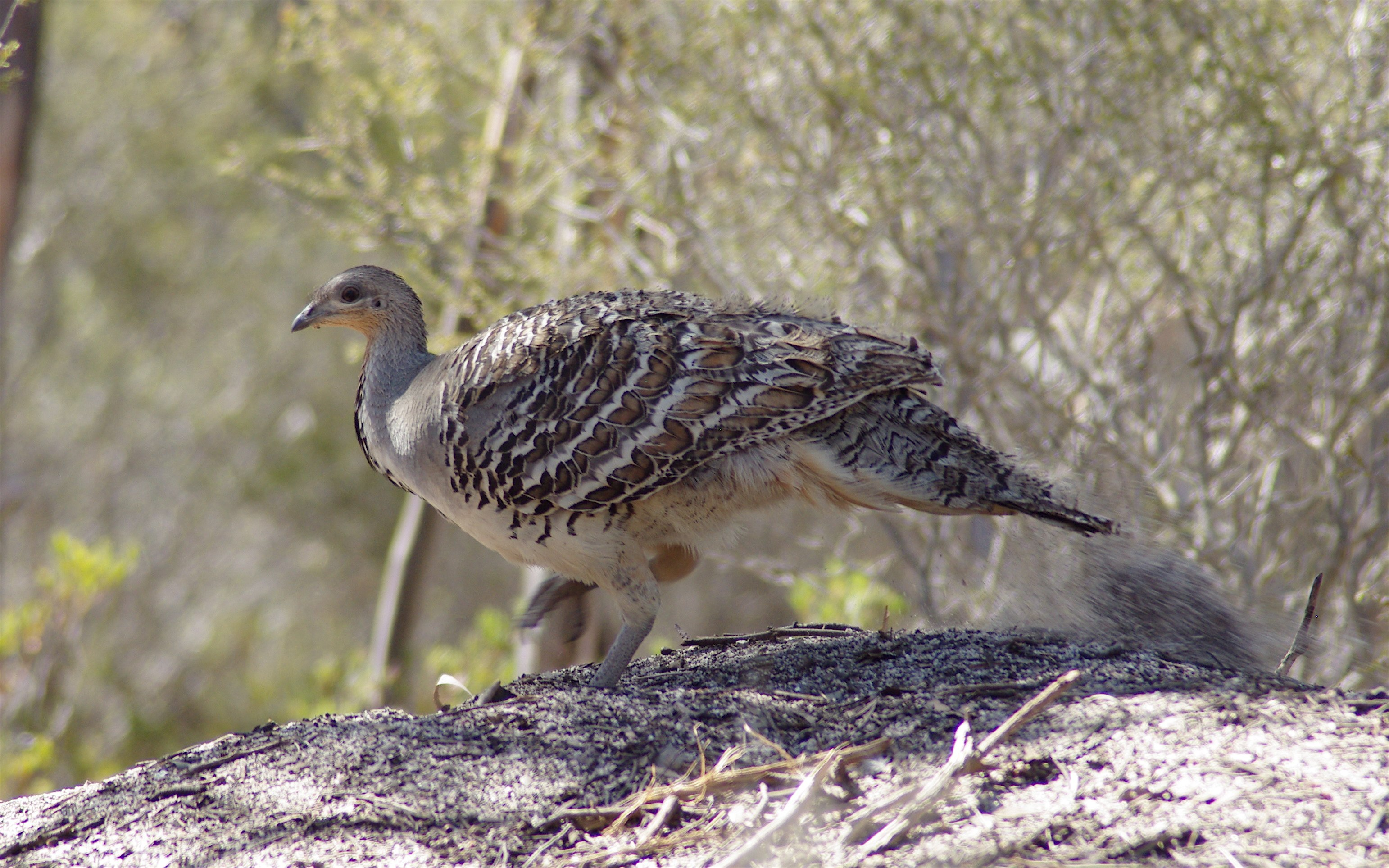 Malleefowl wallpaper