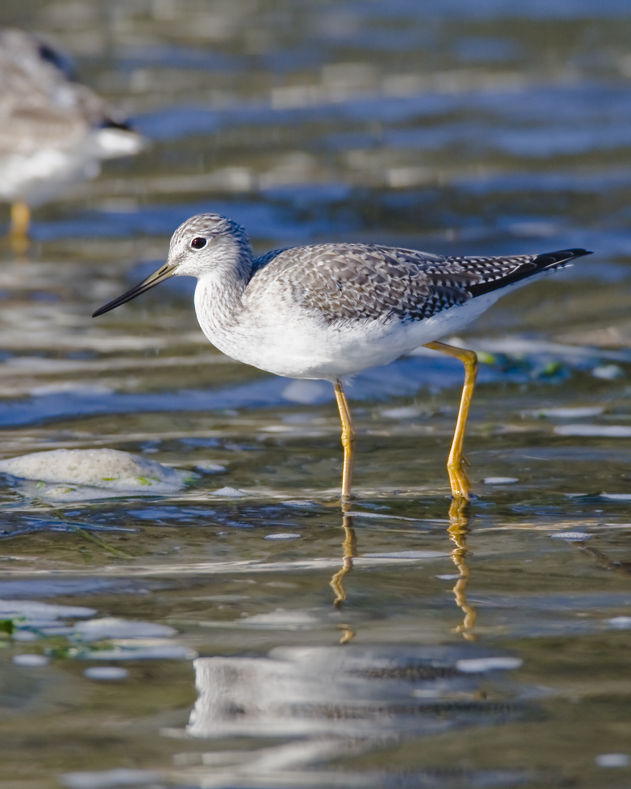 Greater Yellowlegs wallpaper