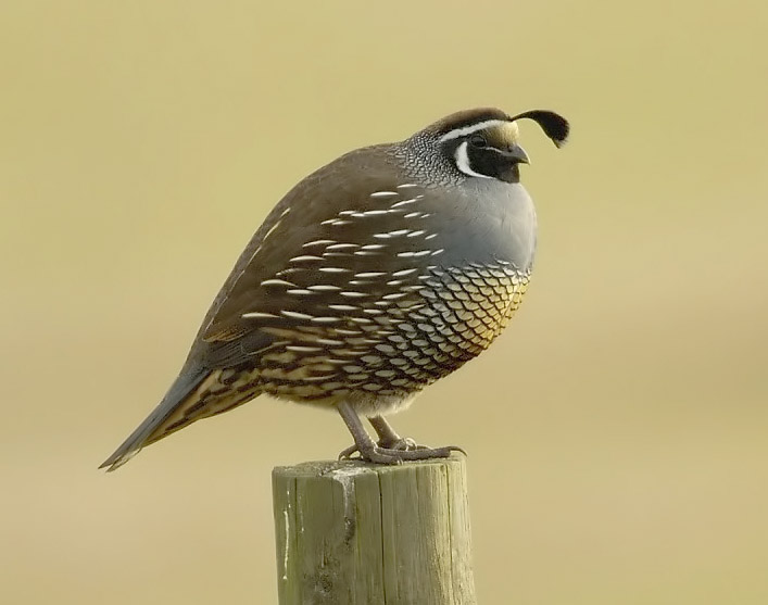 California Quail wallpaper