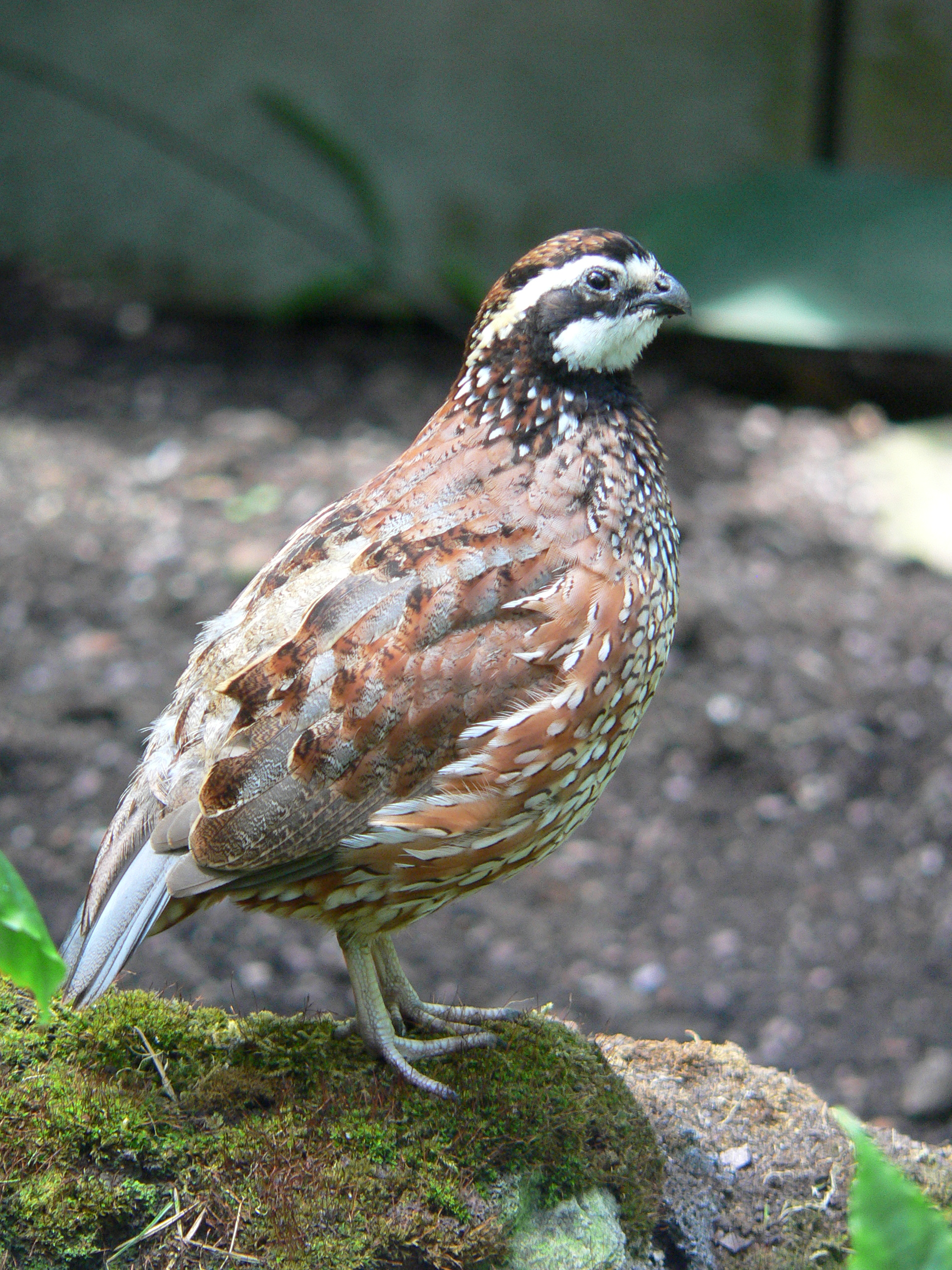 Northern Bobwhite wallpaper