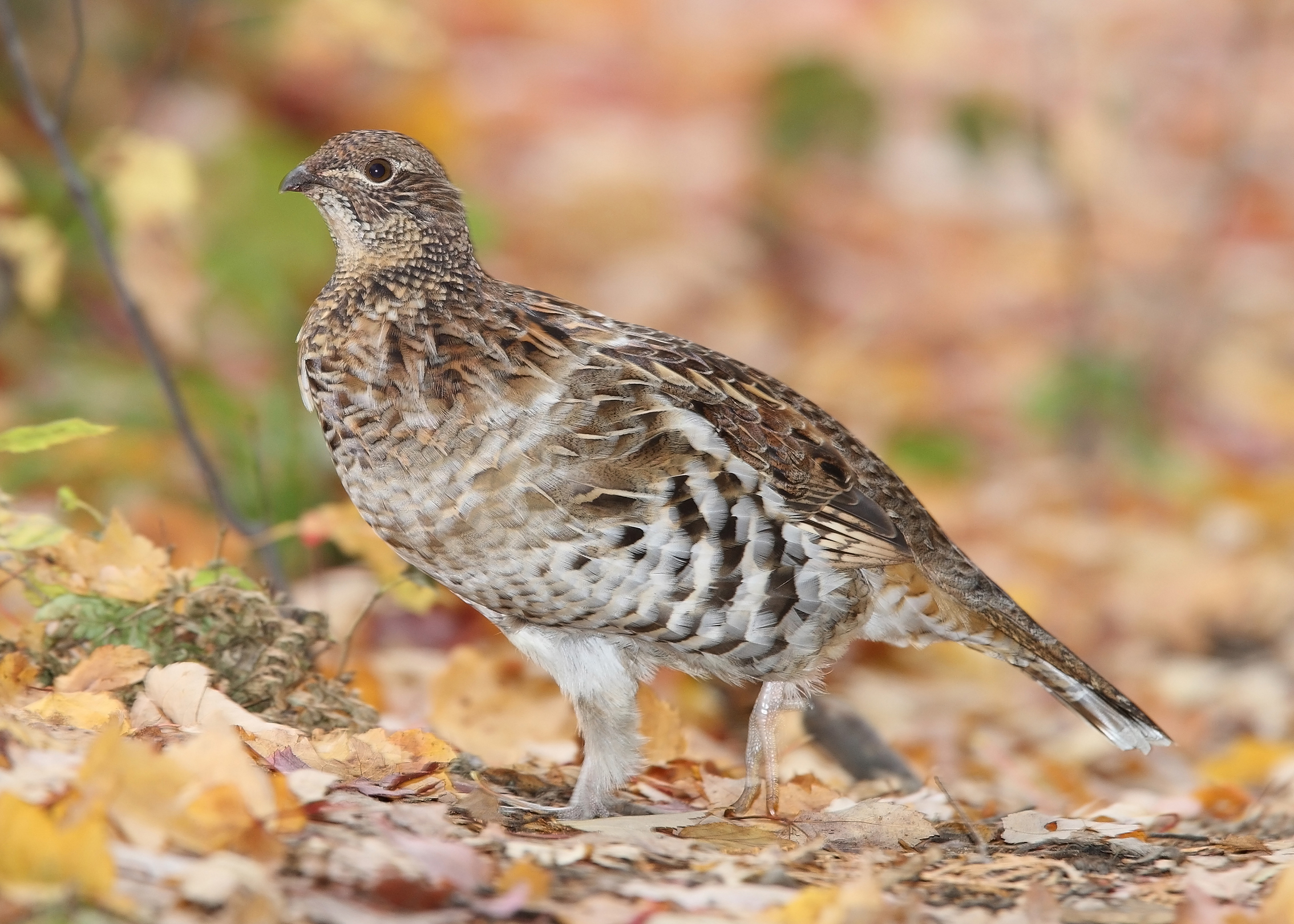 Ruffed Grouse wallpaper