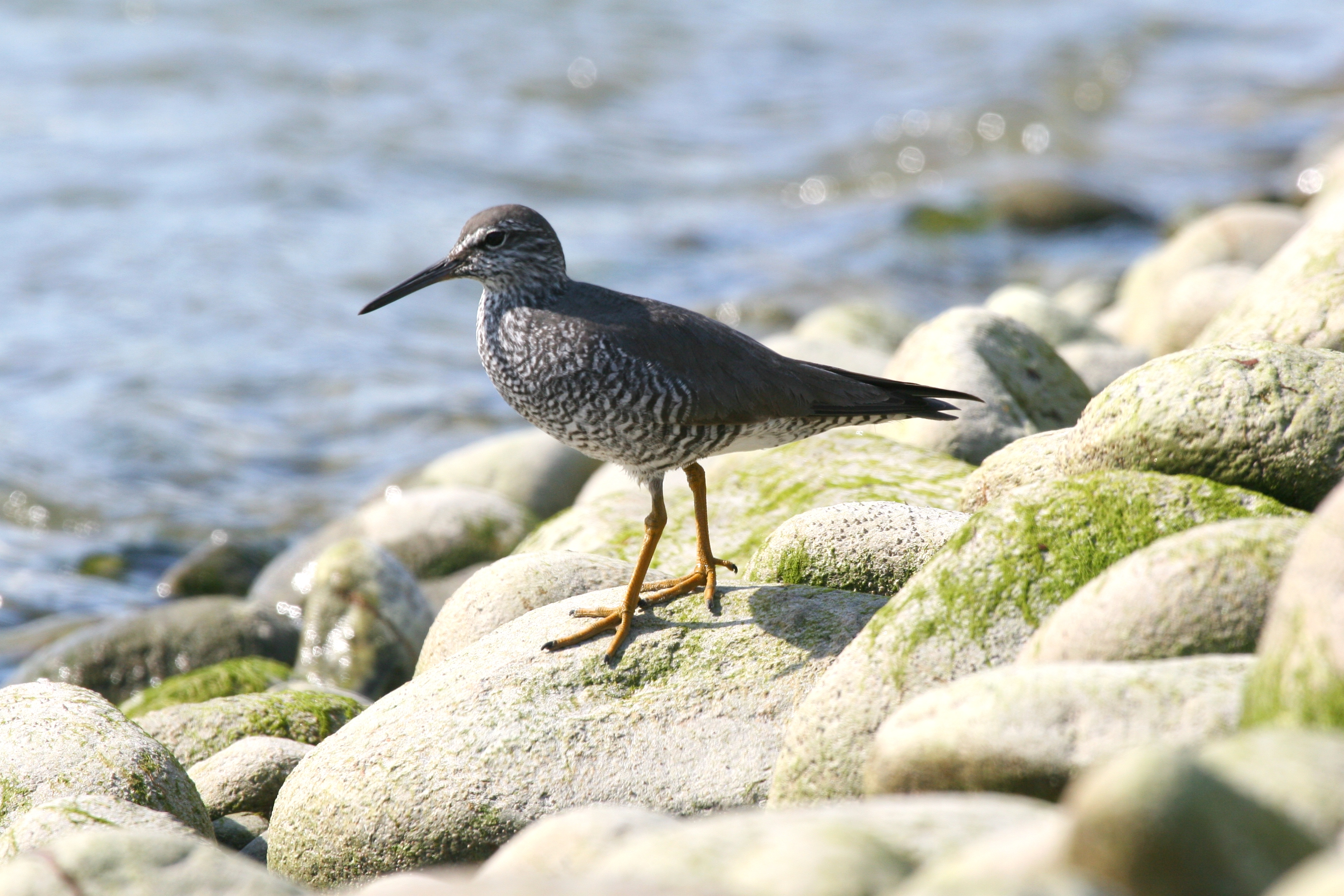 Wandering Tattler wallpaper