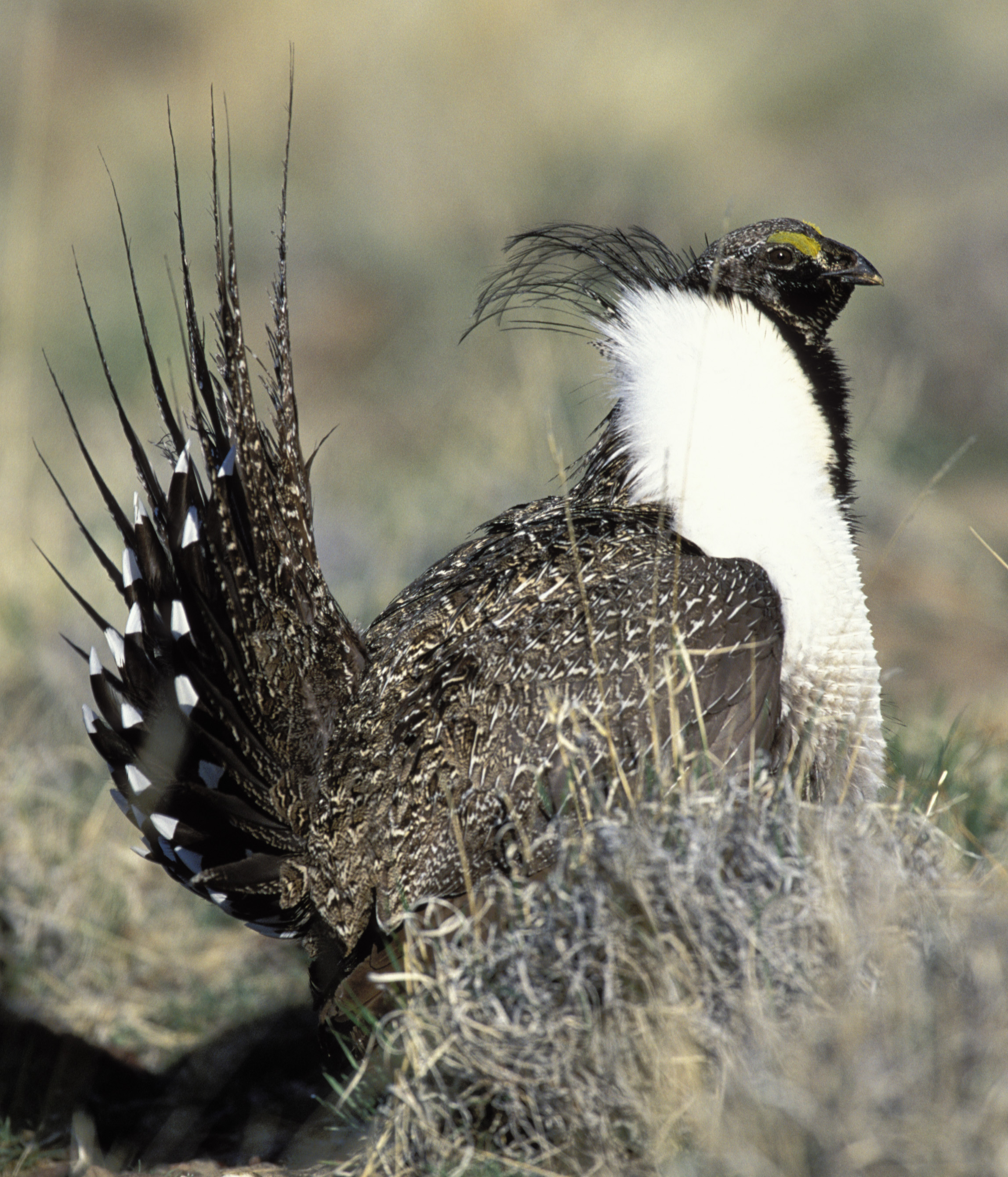 Sage-grouse wallpaper