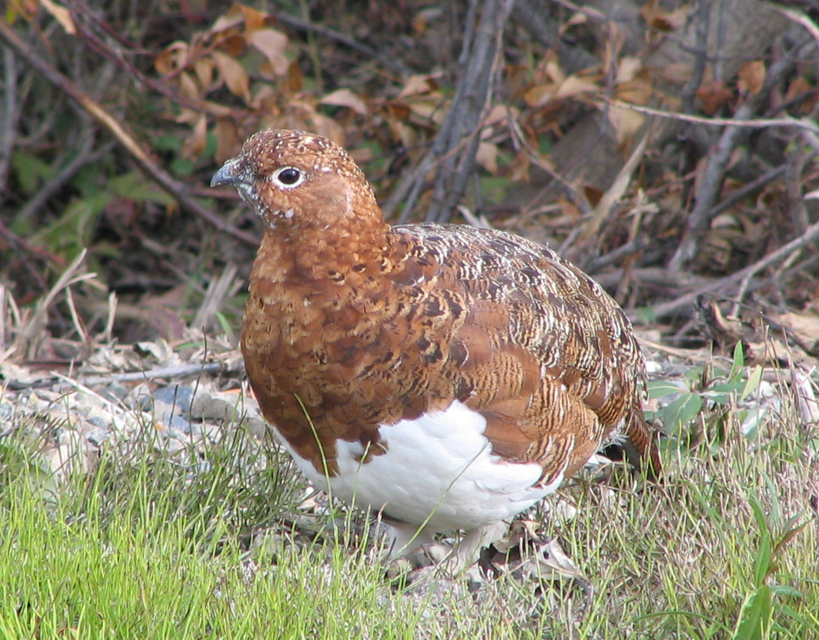 Willow Ptarmigan wallpaper