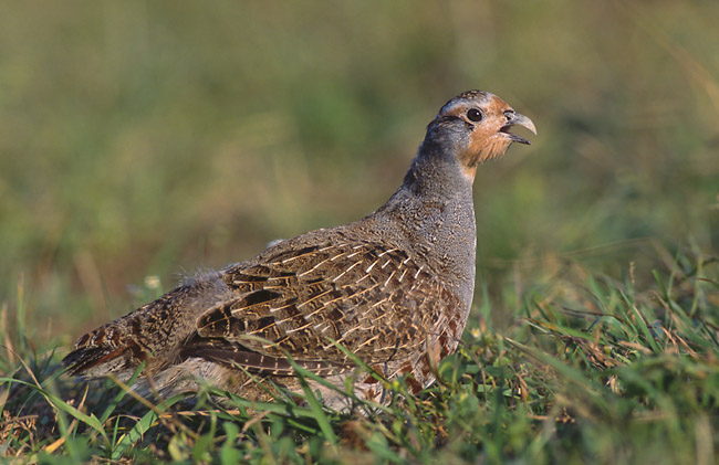 Grey Partridge wallpaper