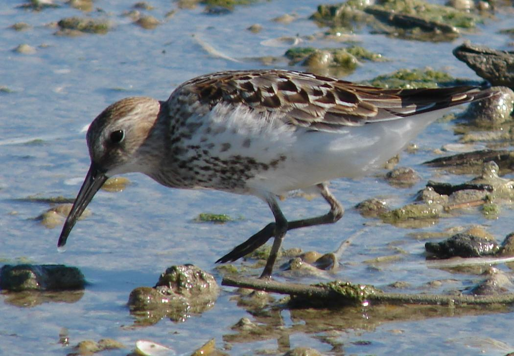 Dunlin wallpaper