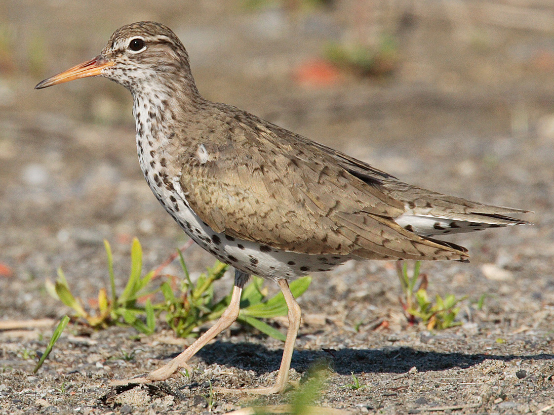 Spotted Sandpiper wallpaper