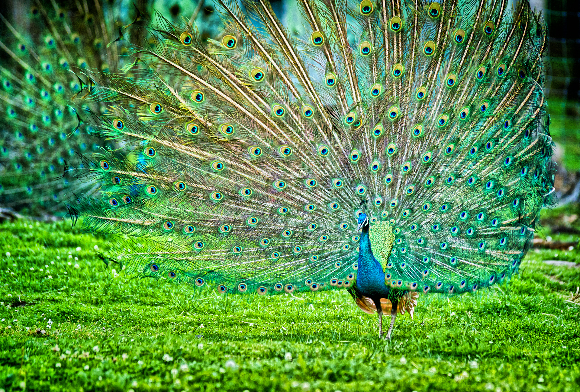 Indian Peafowl wallpaper