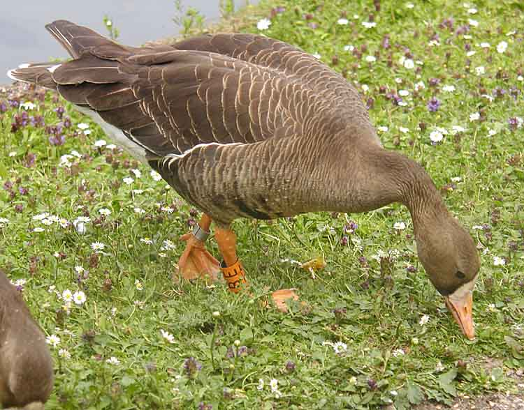 Greater White-fronted Goose wallpaper